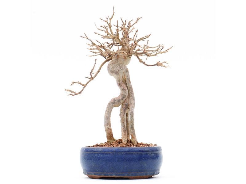 Acer buergerianum, 24 cm, ± 15 jaar oud