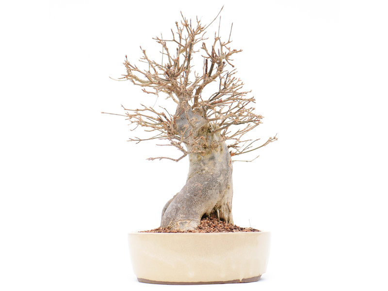 Acer buergerianum, 30 cm, ± 25 jaar oud