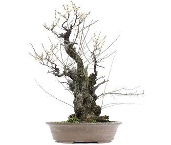 Prunus mume Yamadori, 77 cm, ± 100 jaar oud