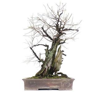 Prunus mume Yamadori, 90 cm, ± 150 years old