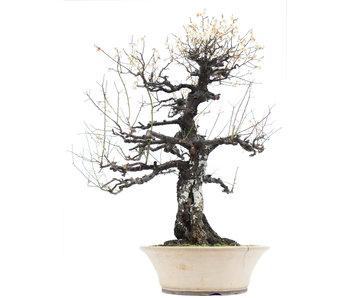 Prunus mume Yamadori, 85 cm, ± 100 jaar oud