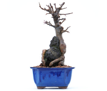 Malus, 24 cm, ± 15 years old