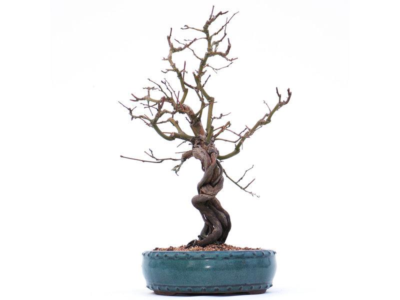 Berchemia Racemosa, 37 cm, ± 15 jaar oud