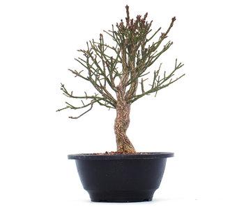 Euonymus alatus, 21 cm, ± 10 jaar oud