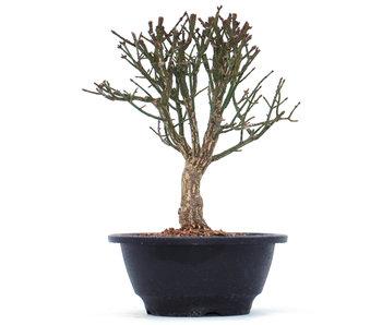 Euonymus alatus, 19 cm, ± 10 jaar oud