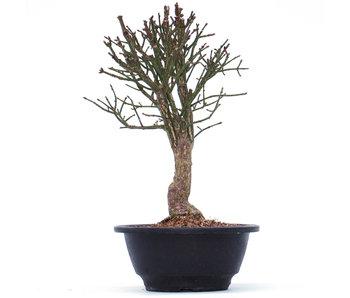 Euonymus alatus, 23 cm, ± 10 jaar oud