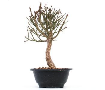 Euonymus alatus, 24 cm, ± 10 jaar oud