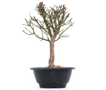 Euonymus alatus, 22 cm, ± 10 jaar oud