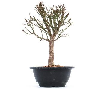 Euonymus alatus, 22 cm, ± 10 years old