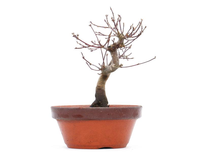 Acer palmatum Deshojo, 17 cm, ± 8 jaar oud