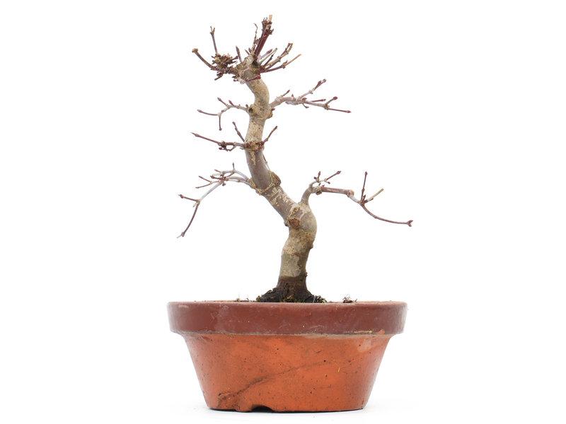Acer palmatum Deshojo, 18 cm, ± 8 jaar oud