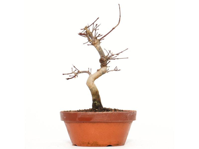 Acer palmatum Deshojo, 19 cm, ± 8 jaar oud