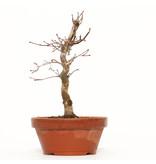 Acer palmatum Deshojo, 22 cm, ± 8 jaar oud