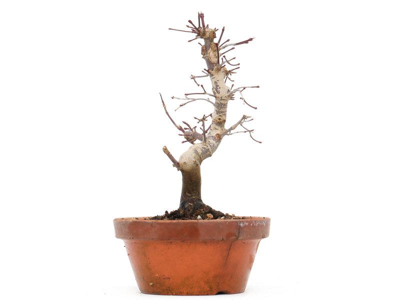 Acer palmatum Deshojo, 20 cm, ± 8 jaar oud