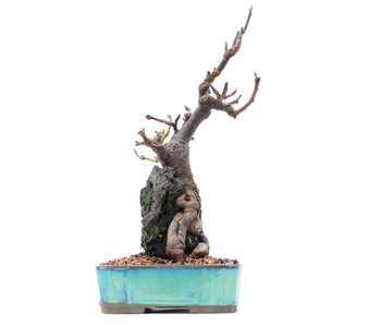 Malus, 25 cm, ± 15 years old