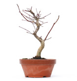 Acer palmatum Deshojo, 23 cm, ± 8 jaar oud