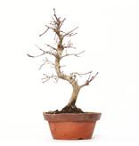 Acer palmatum Deshojo, 28 cm, ± 8 jaar oud