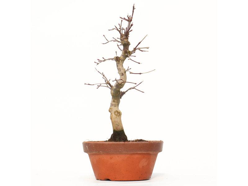 Acer palmatum Deshojo, 26 cm, ± 8 jaar oud