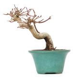 Acer palmatum, 12 cm, ± 15 jaar oud