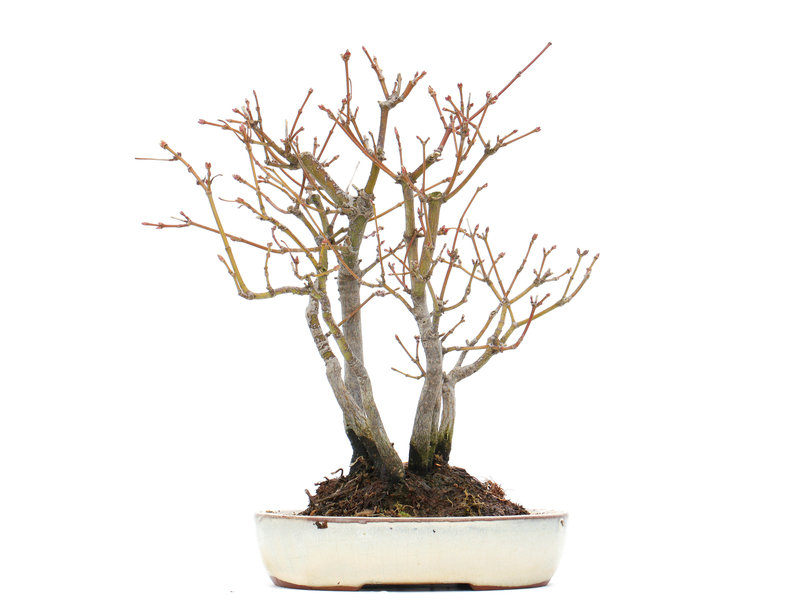 Acer palmatum, 20 cm, ± 10 jaar oud