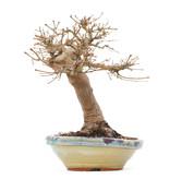 Acer palmatum, 26 cm, ± 35 jaar oud, met mooie oude schors en in Japanse handgemaakte pot