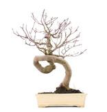 Acer palmatum, 33 cm, ± 20 jaar oud