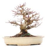 Acer palmatum, 21 cm, ± 30 jaar oud, met geënte tak