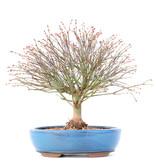 Acer palmatum Kiyohime, 26 cm, ± 15 jaar oud