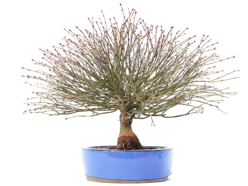 Acer palmatum Kiyohime, 28 cm, ± 15 jaar oud