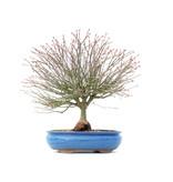 Acer palmatum Kiyohime, 30 cm, ± 15 jaar oud