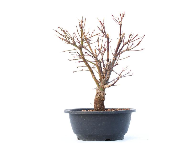 Acer palmatum Arakawa, 25 cm, ± 10 jaar oud, met een uitzonderlijk ruwe schors