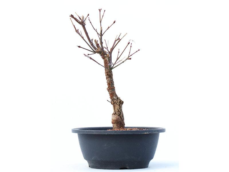 Acer palmatum Arakawa, 26 cm, ± 10 jaar oud, met een uitzonderlijk ruwe schors