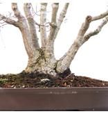 Acer palmatum, 50 cm, ± 30 jaar oud
