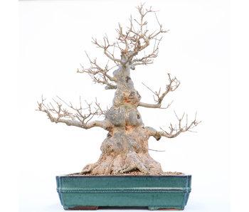 Acer buergerianum, 58 cm, ± 30 anni
