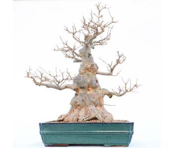 Acer buergerianum, 58 cm, ± 30 years old