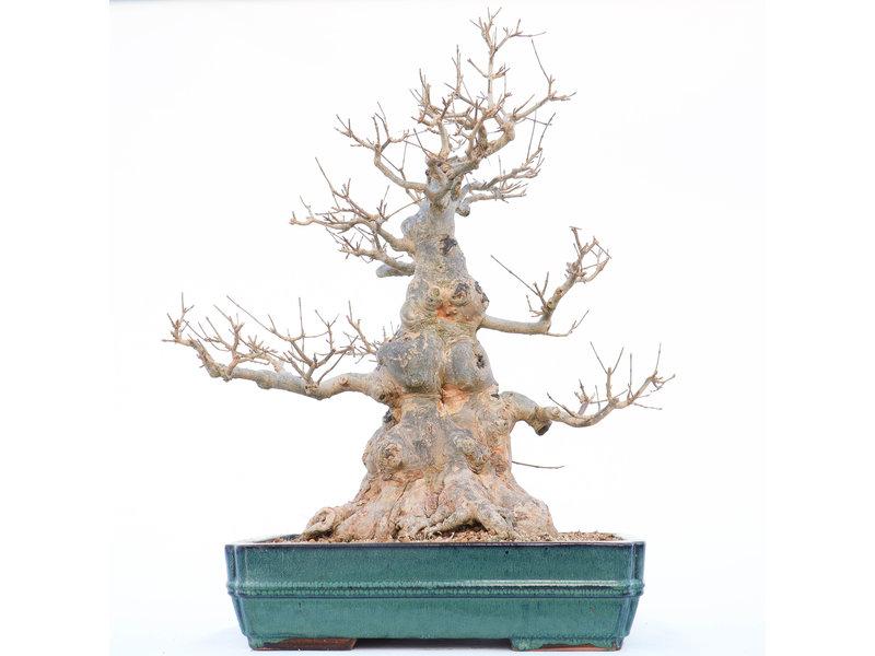Acer buergerianum, 58 cm, ± 30 jaar oud