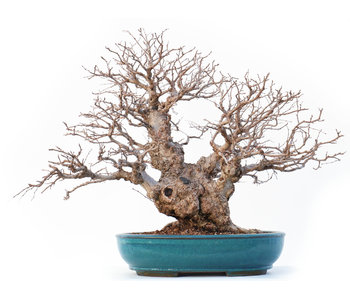 Carpinus coreana Yamadori, 46 cm, ± 50 jaar oud