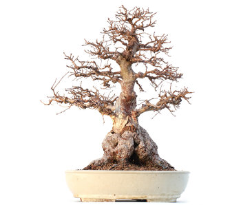 Carpinus coreana Yamadori, 50 cm, ± 60 years old
