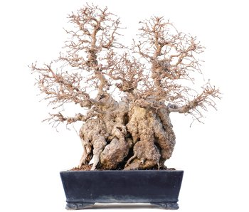 Carpinus coreana Yamadori, 45 cm , ± 75 years old