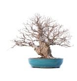 Carpinus coreana Yamadori, 46 cm, ± 50 years old, in a broken pot