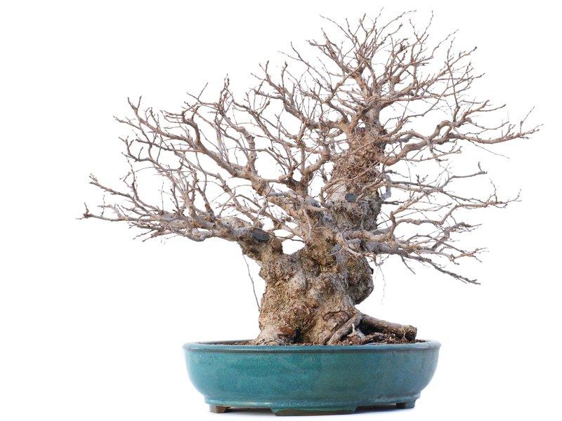 Carpinus coreana Yamadori, 46 cm, ± 50 jaar oud, in gebroken pot