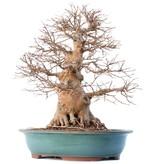 Acer buergerianum, 53 cm, ± 35 jaar oud