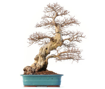 Carpinus coreana Yamadori, 63 cm, ± 60 años