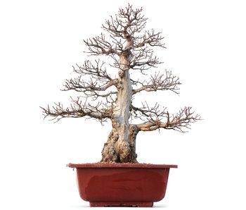 Carpinus coreana Yamadori, 57 cm, ± 50 anni