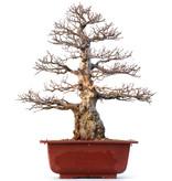 Carpinus coreana Yamadori, 57 cm, ± 50 years old