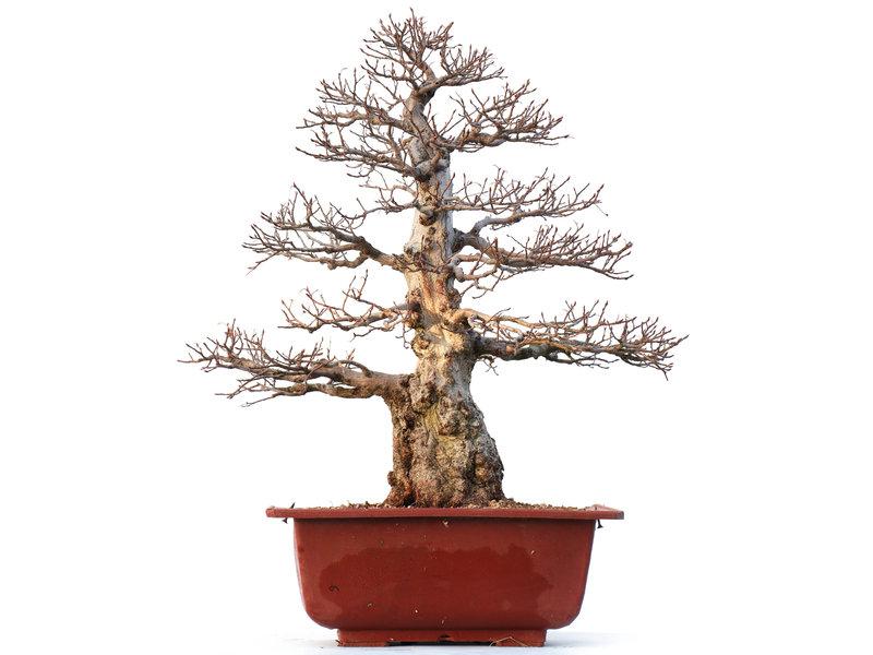 Carpinus coreana Yamadori, 57 cm, ± 50 jaar oud