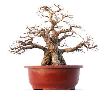 Carpinus coreana Yamadori, 32 cm, ± 45 años