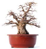 Carpinus coreana Yamadori, 32 cm, ± 45 jaar oud