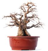 Carpinus coreana Yamadori, 32 cm, ± 45 years old