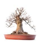 Acer buergerianum, 39 cm, ± 30 jaar oud